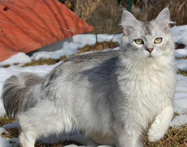 Maine coon black silver shaded